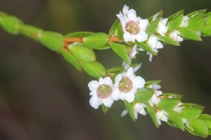 Baeckea_diosmifolia_2