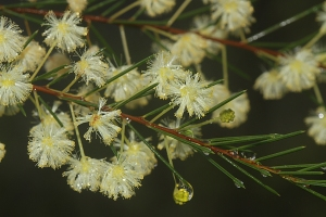 Acacia_quadrilateralis