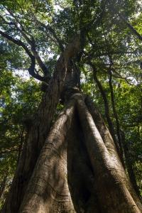 Ficus_ watkinsiana