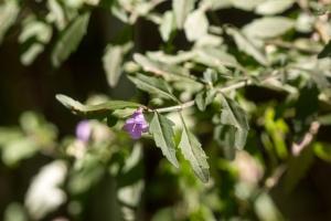 Prostantera_ovalifolia