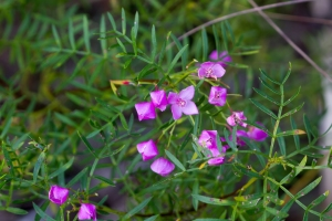Boronia_pinnata_1