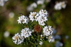 Epacris_breviflora