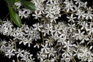 Bursaria_flowers_1