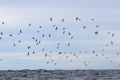 Sea_birds_1.jpg