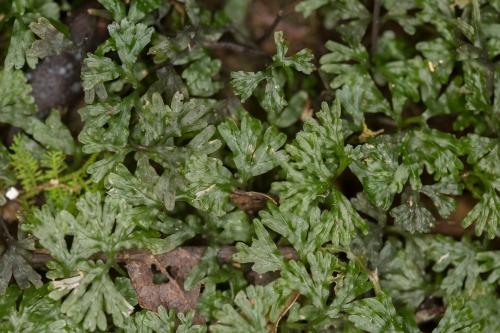 Hymenophyllum_cupressiforme_1.jpg