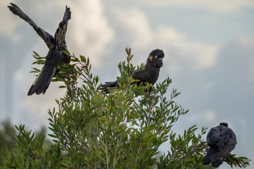 Yellow-tailed_Black_Cockatoo_1